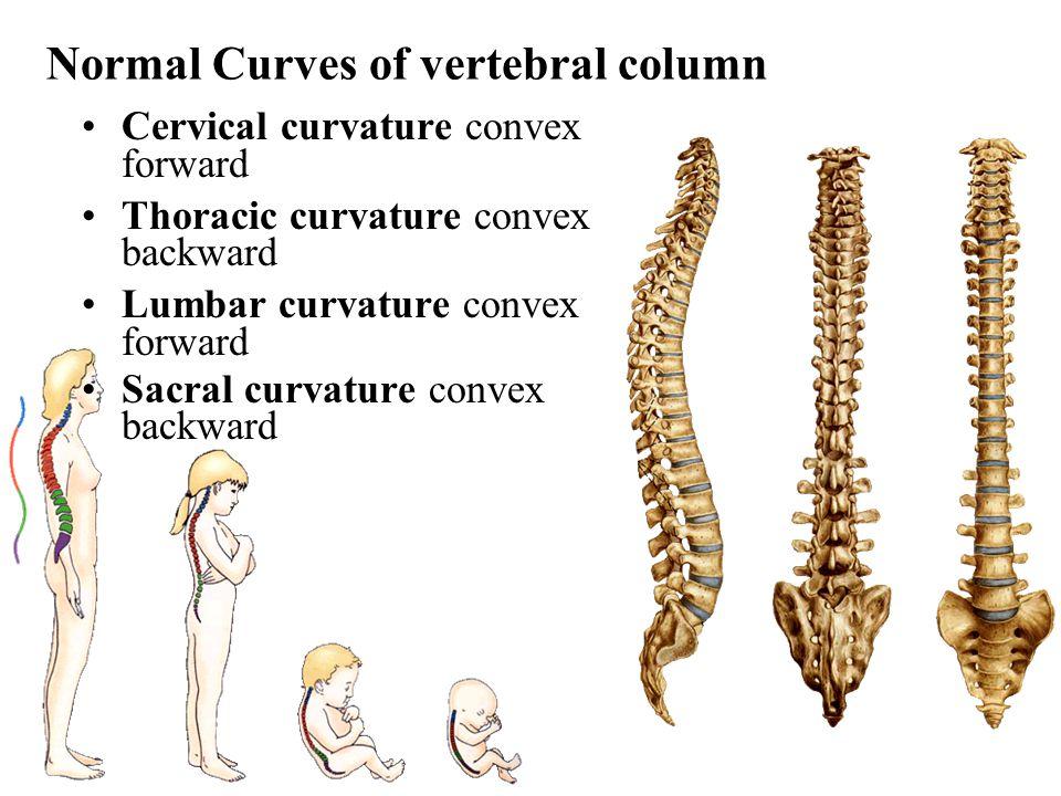 Normal Curves of vertebral column