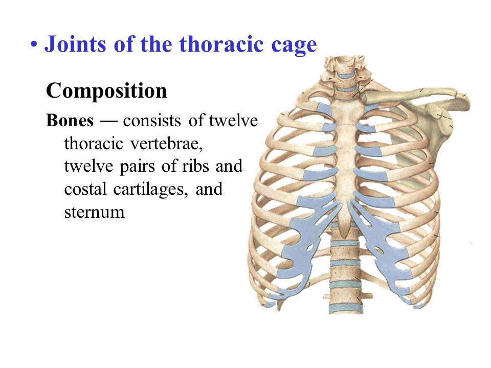 Joints of the thoracic cage