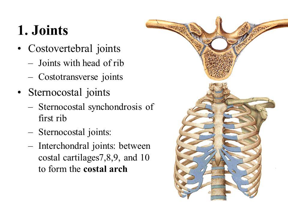1. Joints Costovertebral joints Sternocostal joints