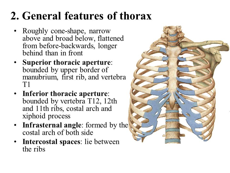 2. General features of thorax