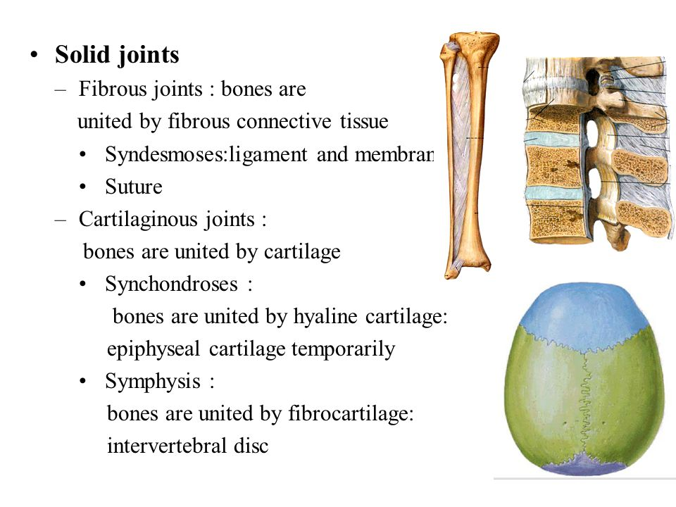 Solid joints Fibrous joints : bones are