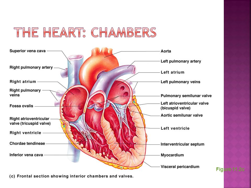 The Heart: Chambers Figure 11.2c