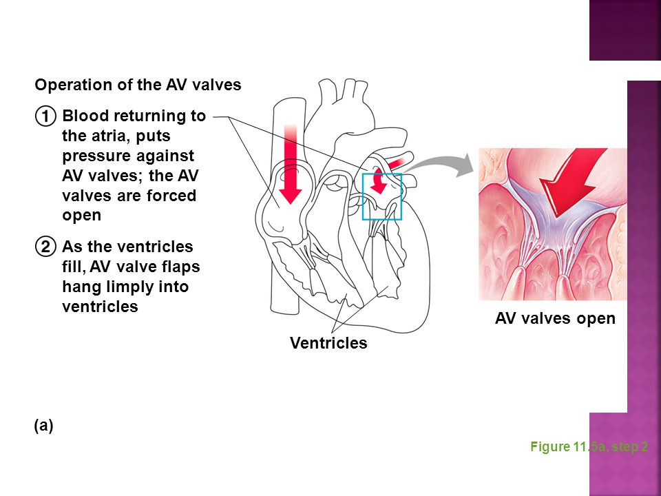 Operation of the AV valves
