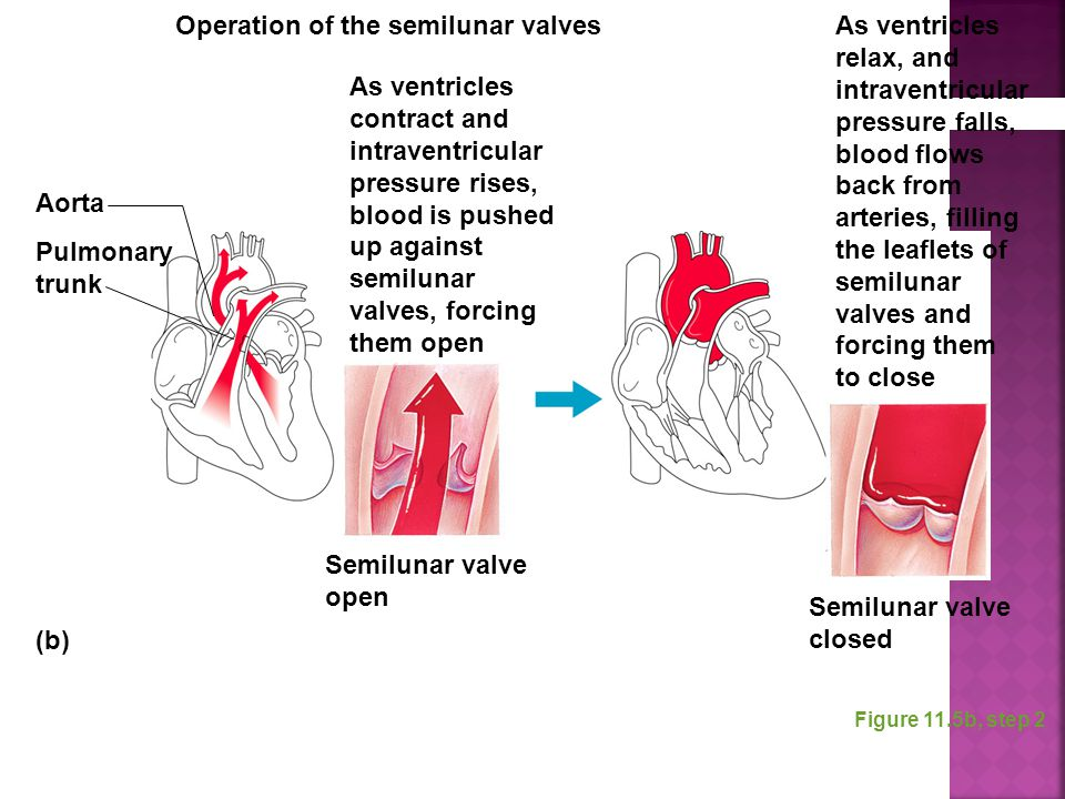 Operation of the semilunar valves