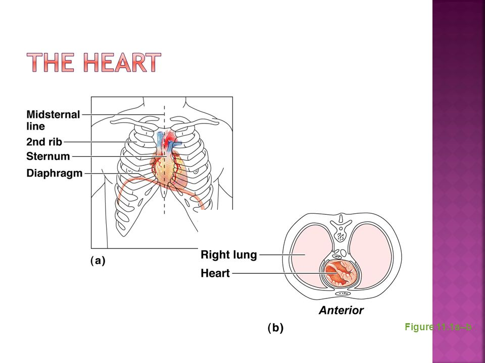 The Heart Figure 11.1a–b