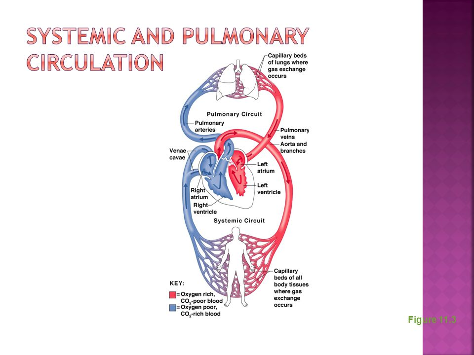 Systemic and Pulmonary Circulations