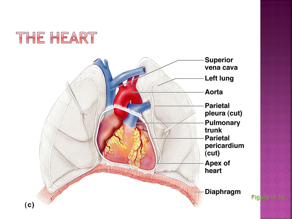 The Heart Figure 11.1c