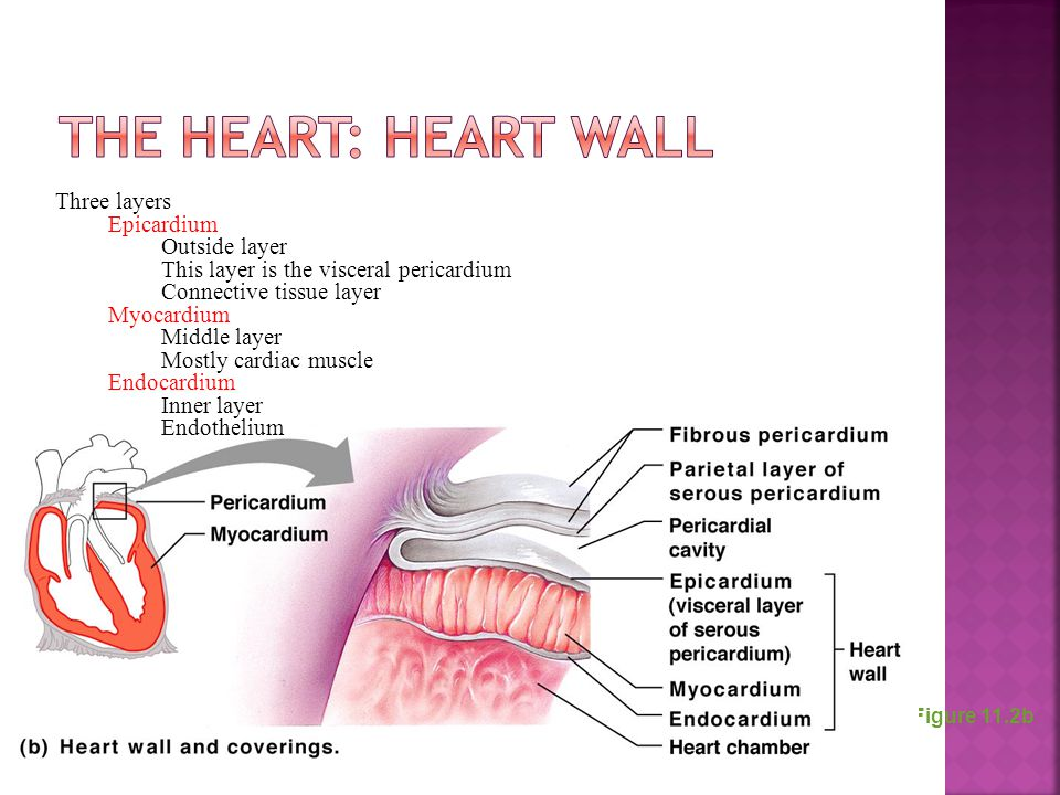 The Heart: Heart Wall Three layers Epicardium Outside layer