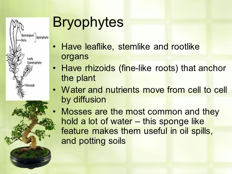 Bryophytes Have leaflike, stemlike and rootlike organs