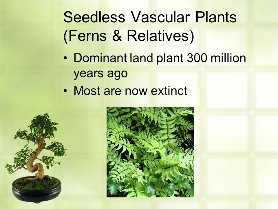 Seedless Vascular Plants (Ferns & Relatives)