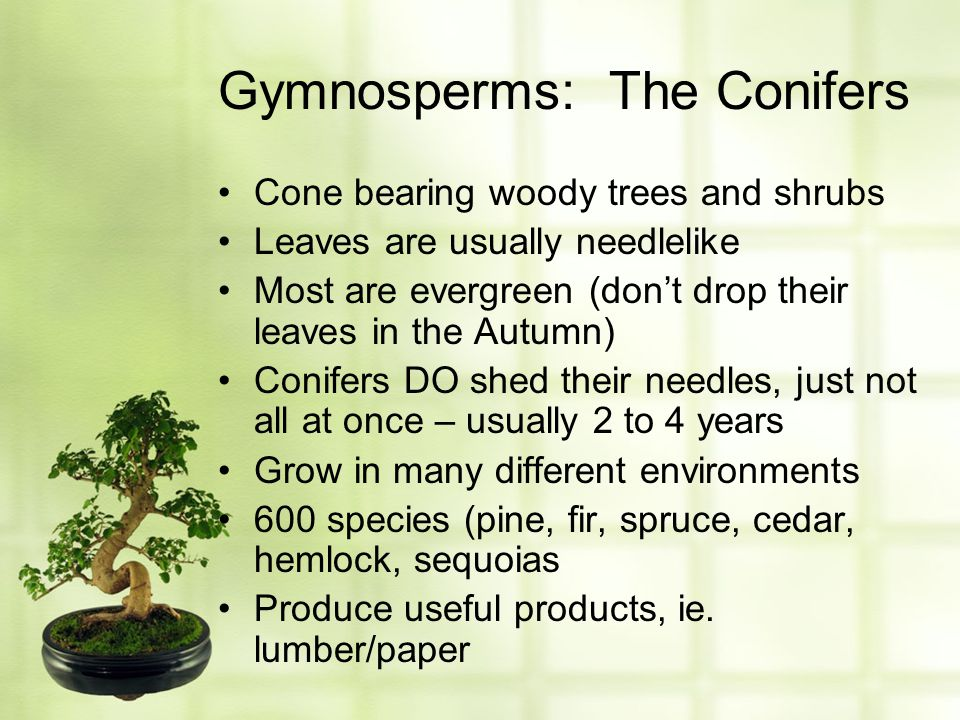 Gymnosperms: The Conifers