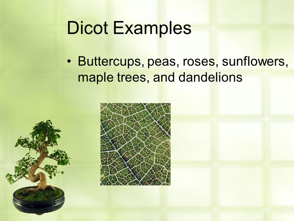 Dicot Examples Buttercups, peas, roses, sunflowers, maple trees, and dandelions