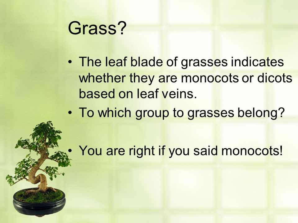 Grass The leaf blade of grasses indicates whether they are monocots or dicots based on leaf veins.