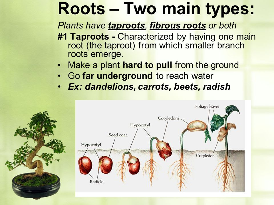 Roots – Two main types: Plants have taproots, fibrous roots or both