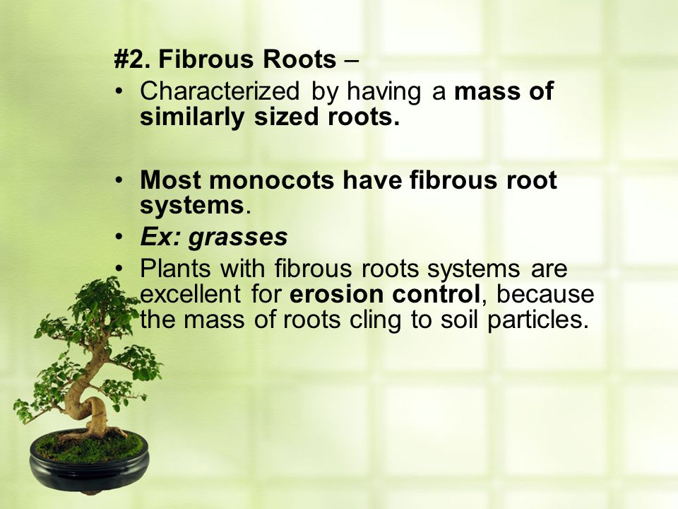#2. Fibrous Roots – Characterized by having a mass of similarly sized roots. Most monocots have fibrous root systems.