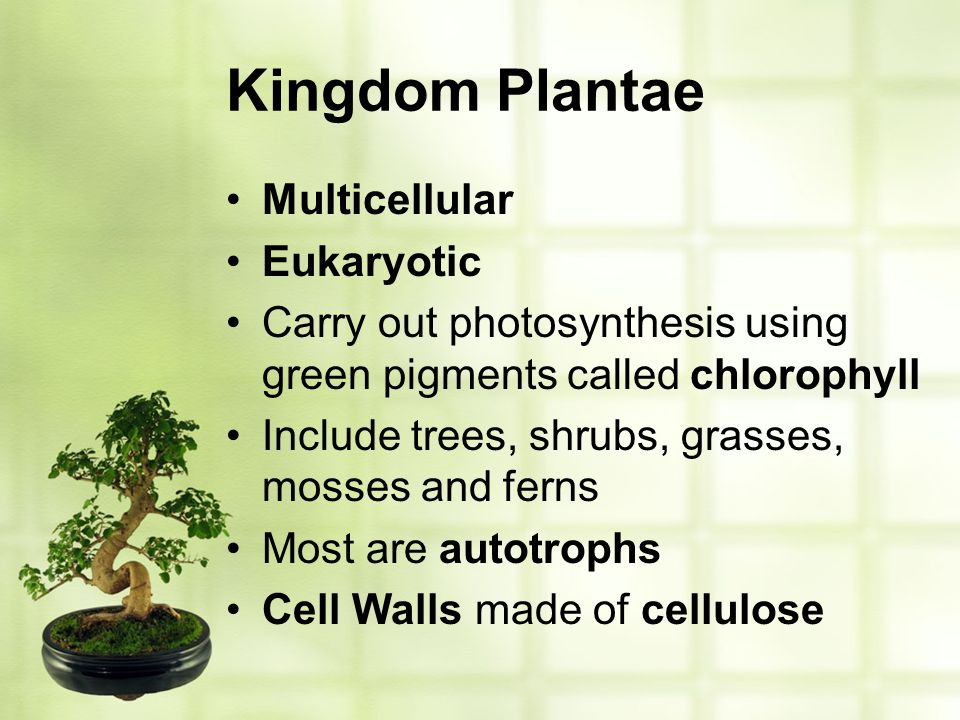 Kingdom Plantae Multicellular Eukaryotic