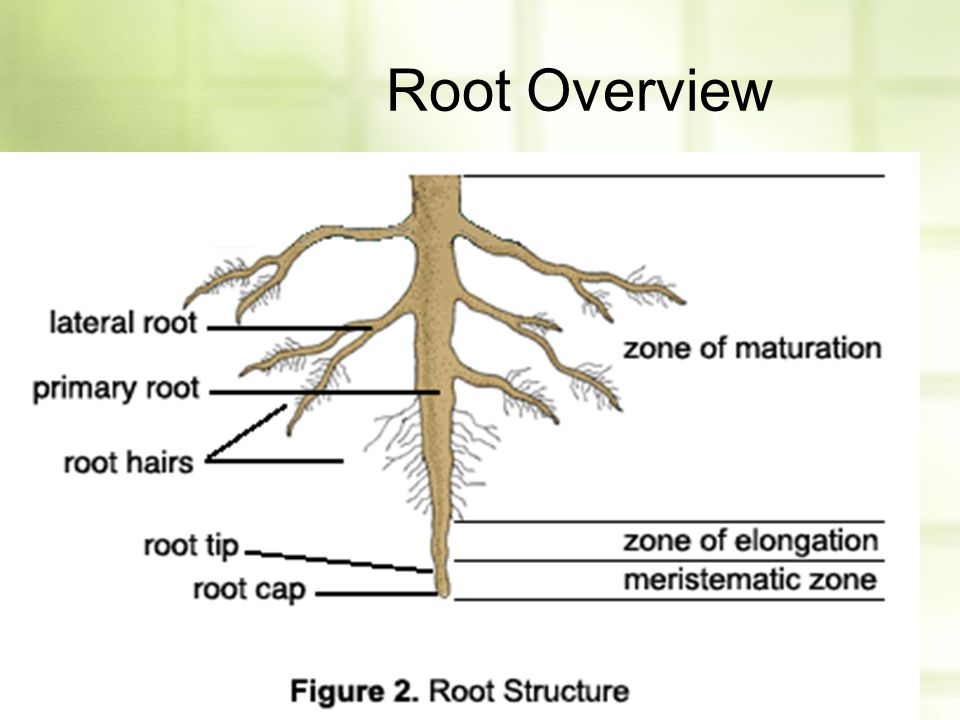 Root Overview
