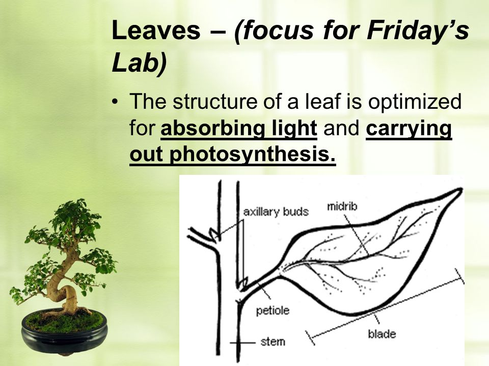 Leaves – (focus for Friday's Lab)