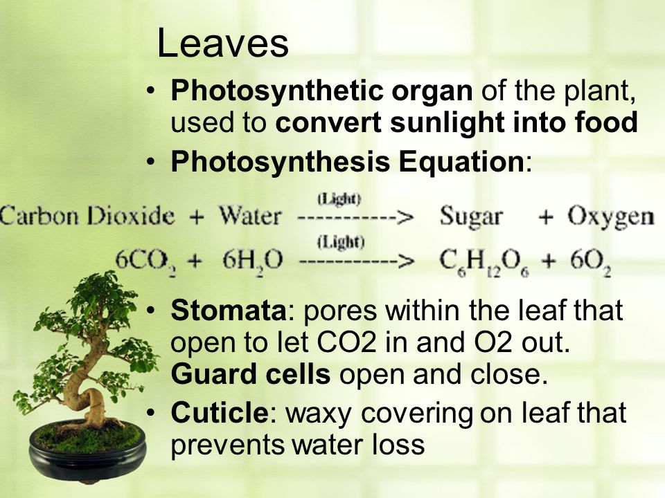 Leaves Photosynthetic organ of the plant, used to convert sunlight into food. Photosynthesis Equation: