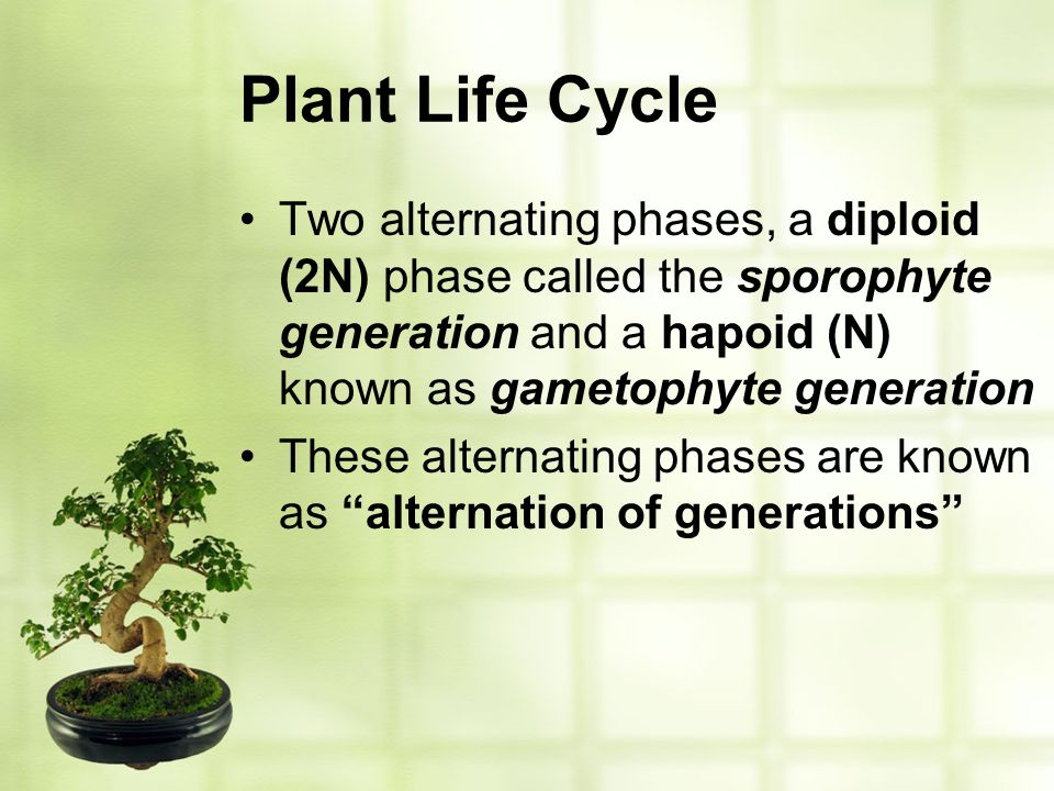 Plant Life Cycle Two alternating phases, a diploid (2N) phase called the sporophyte generation and a hapoid (N) known as gametophyte generation.