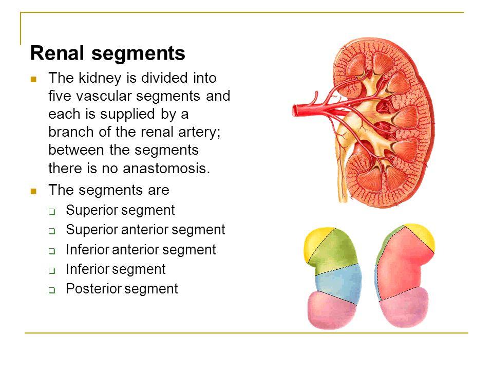 Renal segments