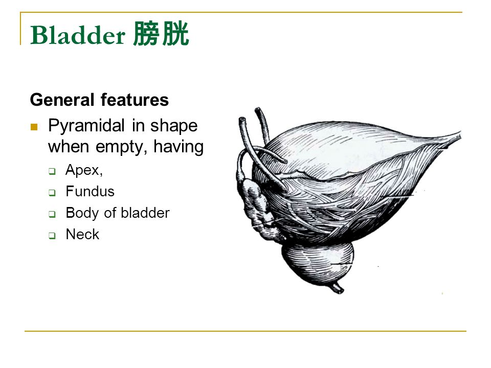 Bladder 膀胱 General features Pyramidal in shape when empty, having