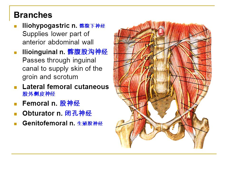 Branches Lateral femoral cutaneous 股外侧皮神经 Femoral n. 股神经