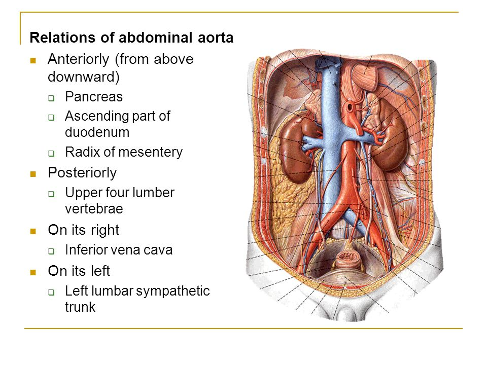 Relations of abdominal aorta Anteriorly (from above downward)