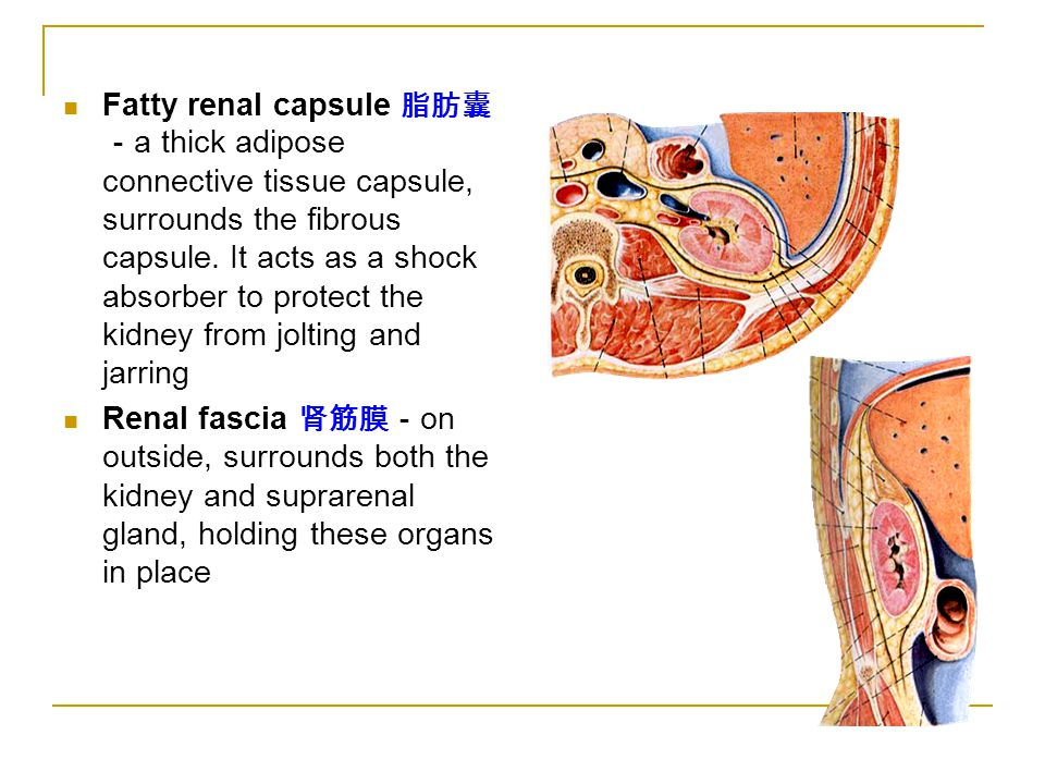 Renal Capsule The Urinary System 山...