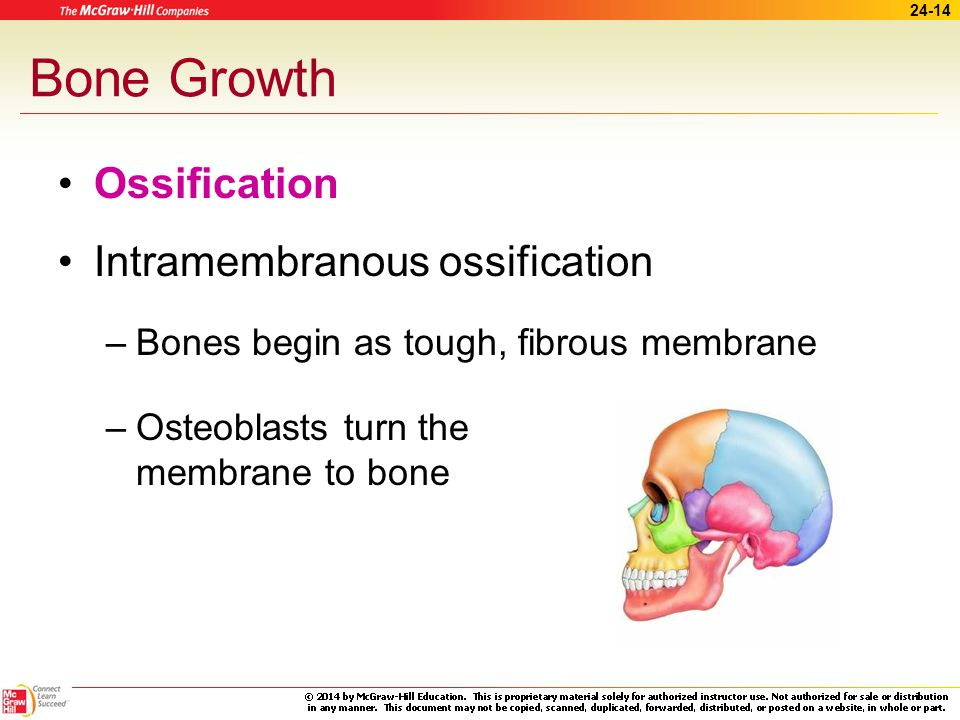 Bone Growth Ossification Intramembranous ossification
