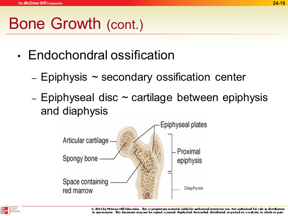 Bone Growth (cont.) Endochondral ossification