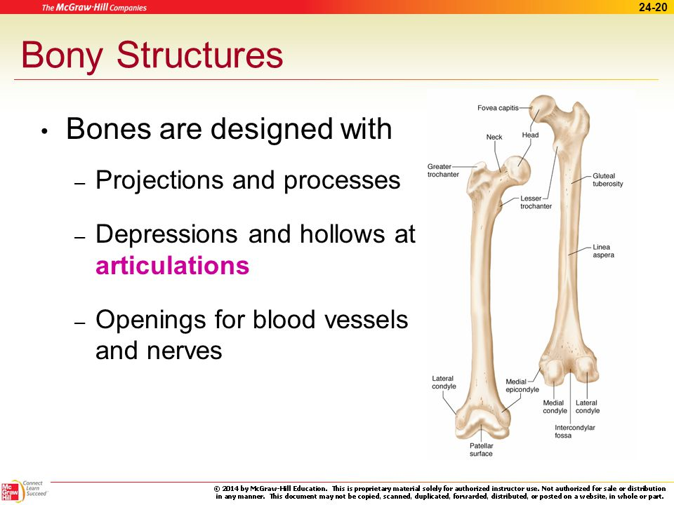 Bony Structures Bones are designed with Projections and processes