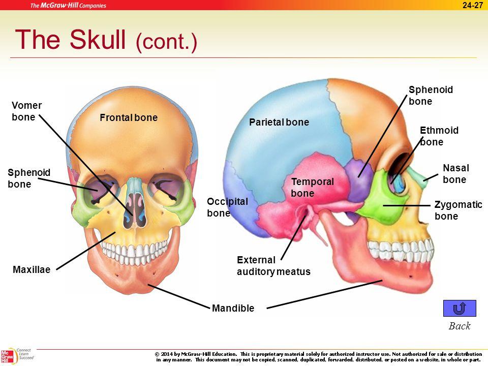 24 the skeletal system. - ppt download, Sphenoid