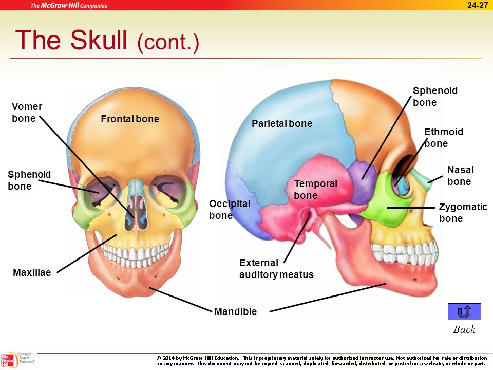 The Skull (cont.) Back Sphenoid bone Vomer bone Frontal bone