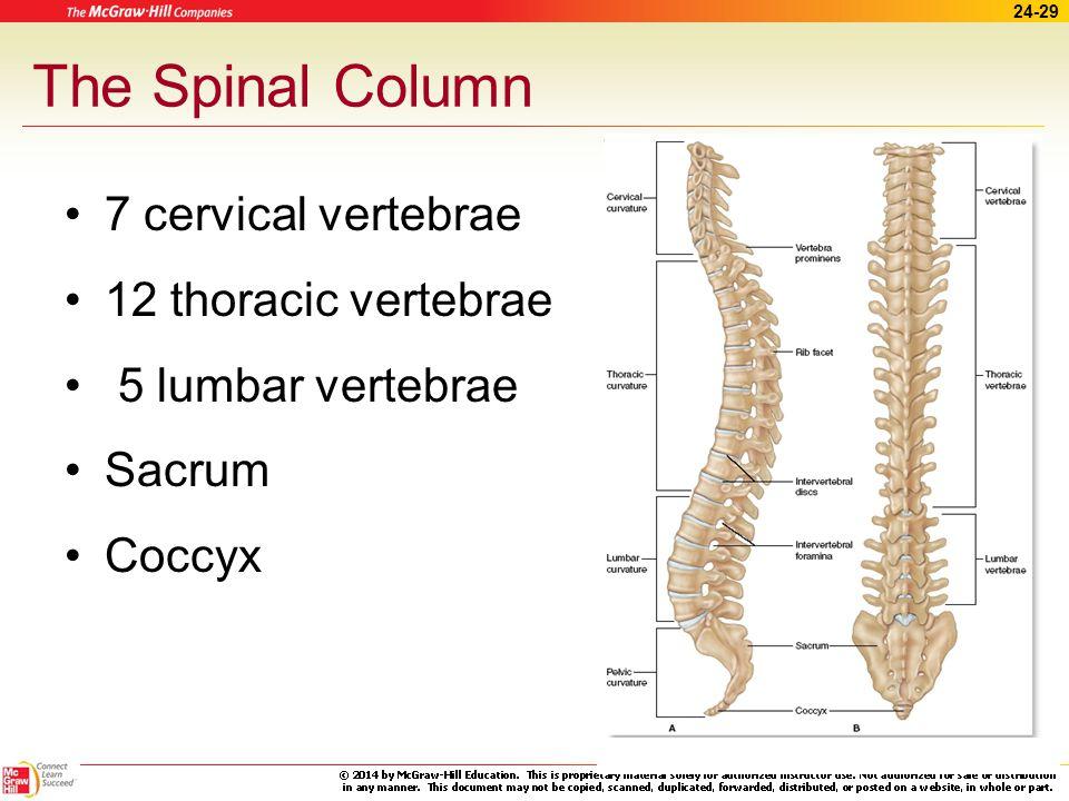 The Spinal Column 7 cervical vertebrae 12 thoracic vertebrae