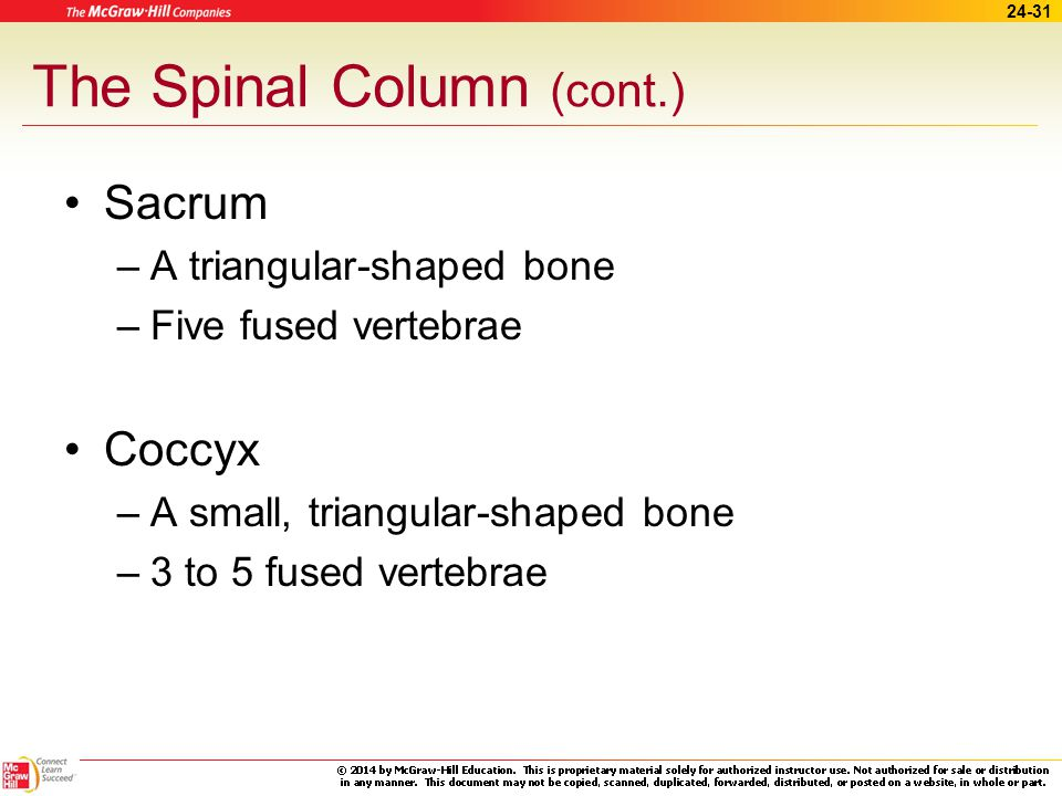 The Spinal Column (cont.)