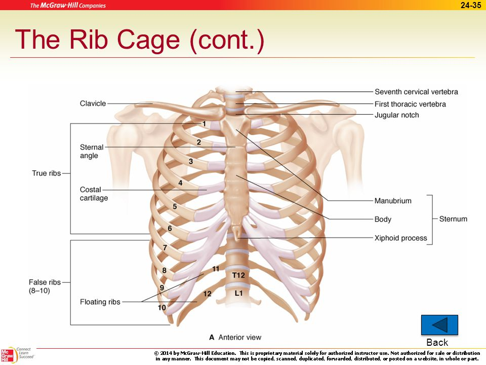 The Rib Cage (cont.) Back