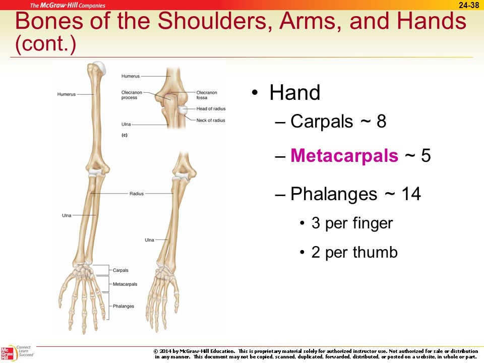 Bones of the Shoulders, Arms, and Hands (cont.)