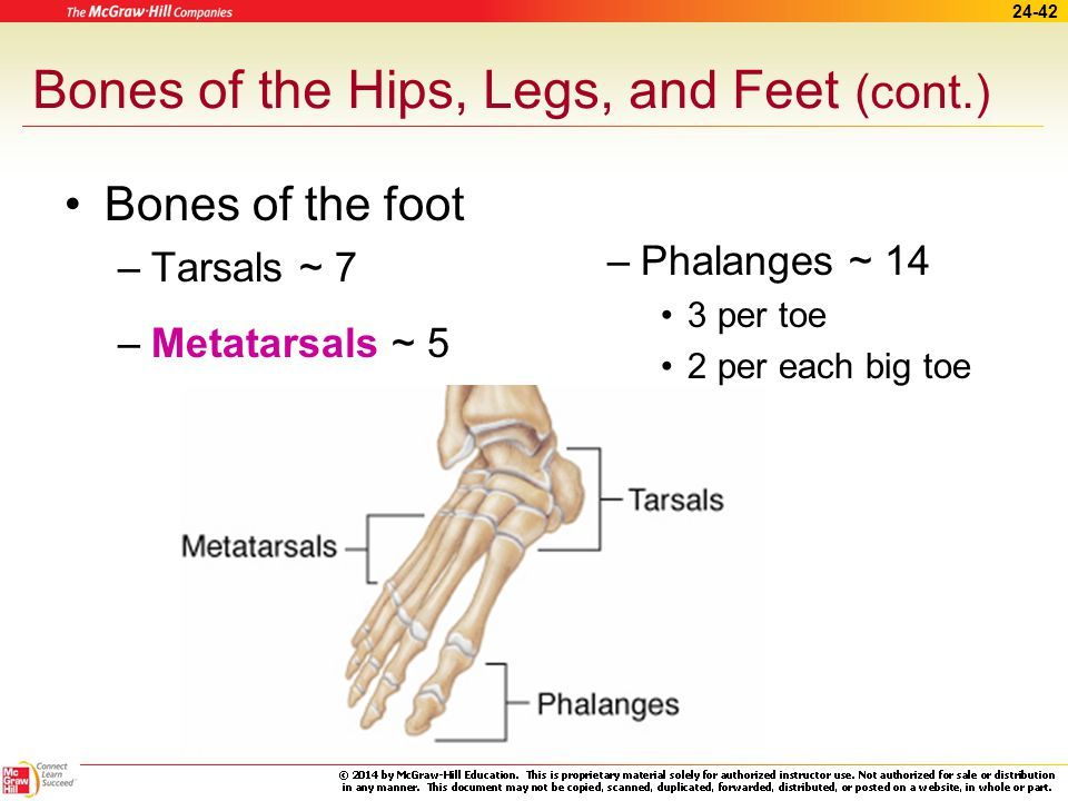 Bones of the Hips, Legs, and Feet (cont.)