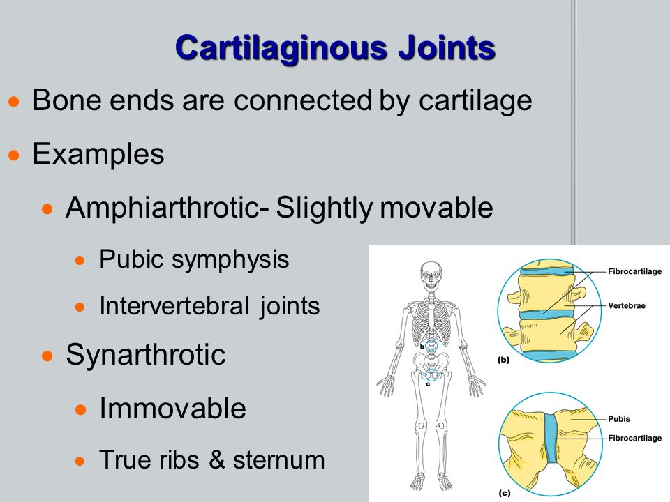 Cartilaginous Joints Bone ends are connected by cartilage Examples