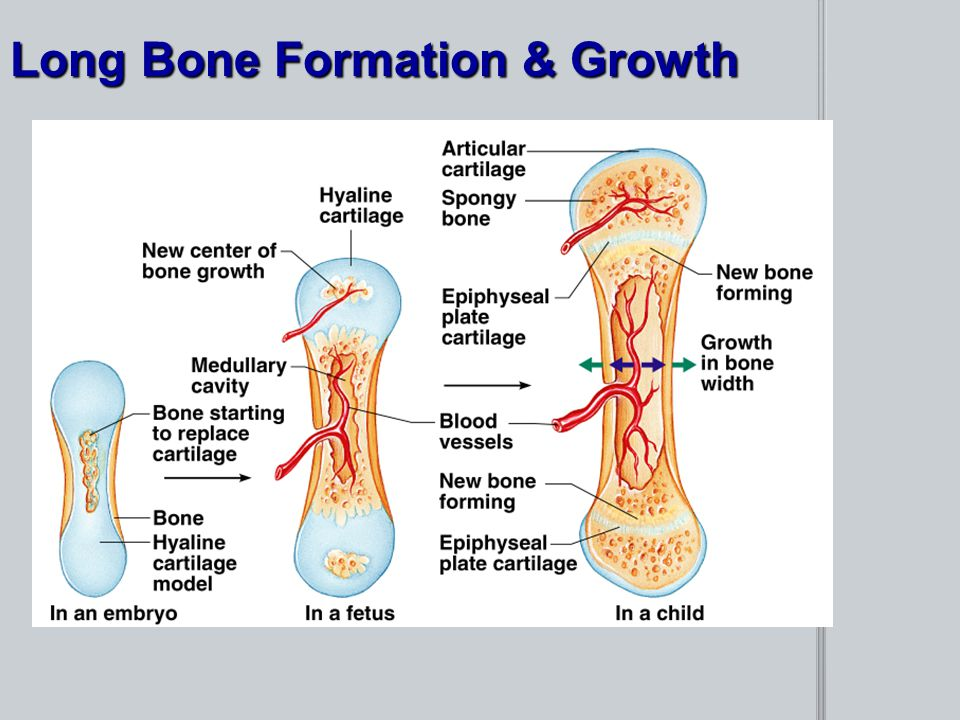 Long Bone Formation & Growth