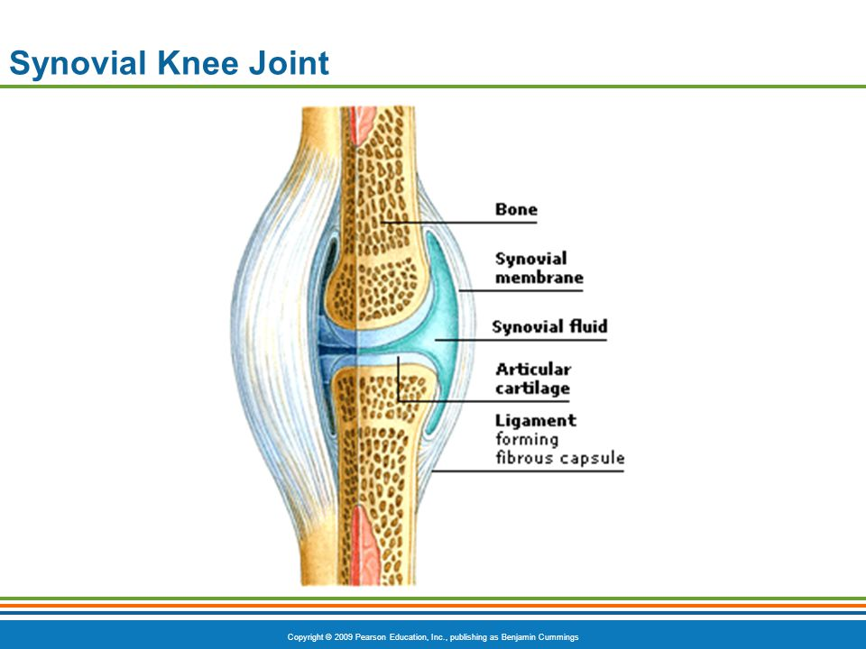 Synovial Knee Joint