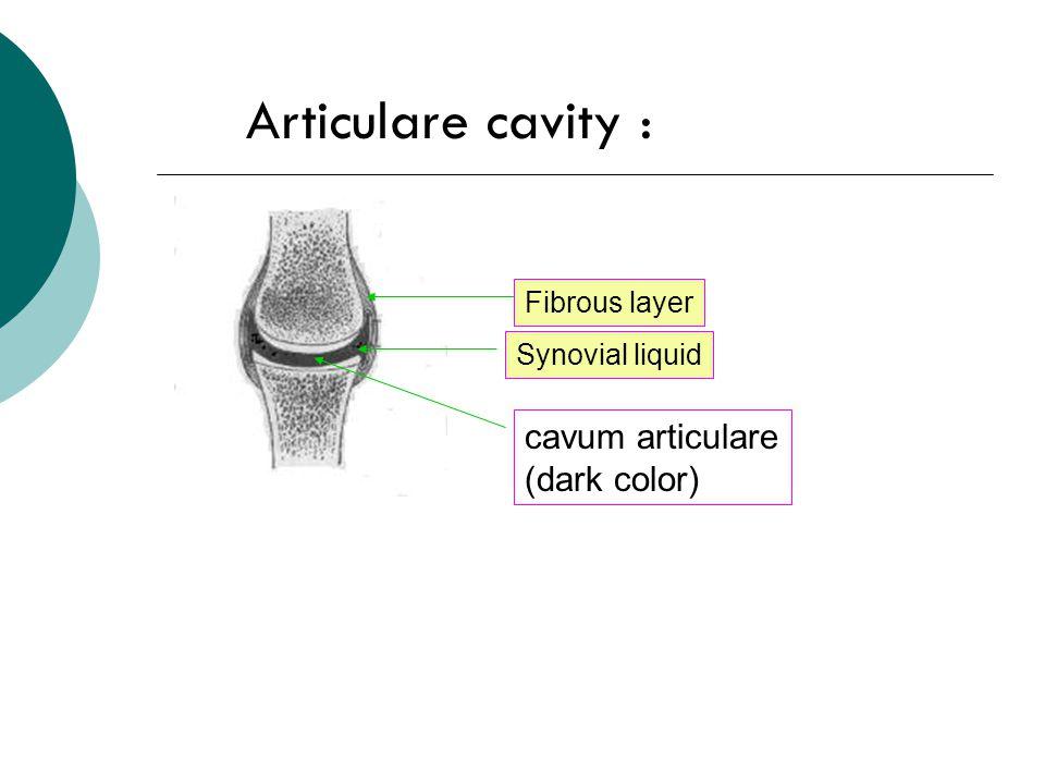 Articulare cavity : cavum articulare (dark color) Fibrous layer