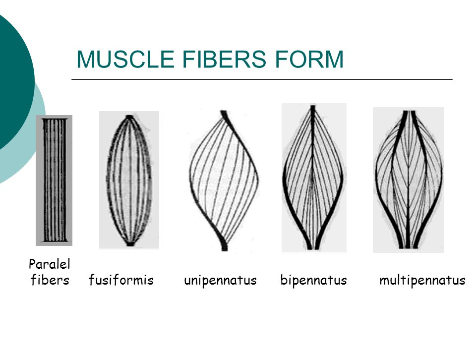 MUSCLE FIBERS FORM Paralel fibers fusiformis unipennatus bipennatus