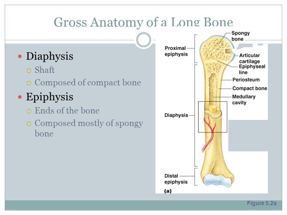 Anatomy of long bone