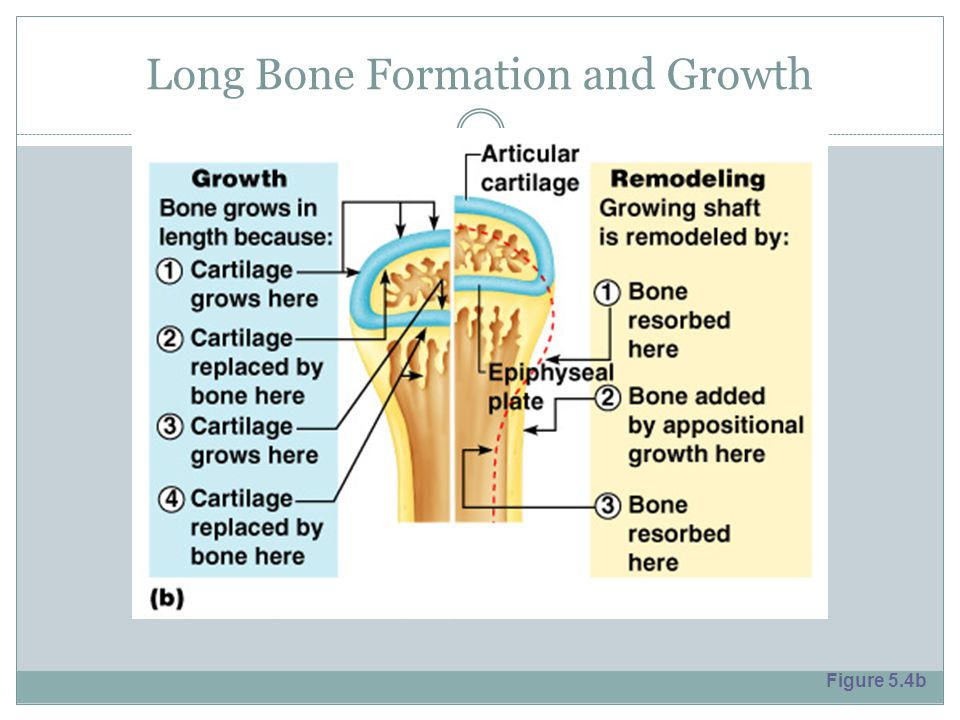 Long Bone Formation and Growth