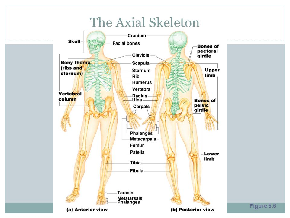 The Axial Skeleton Figure 5.6