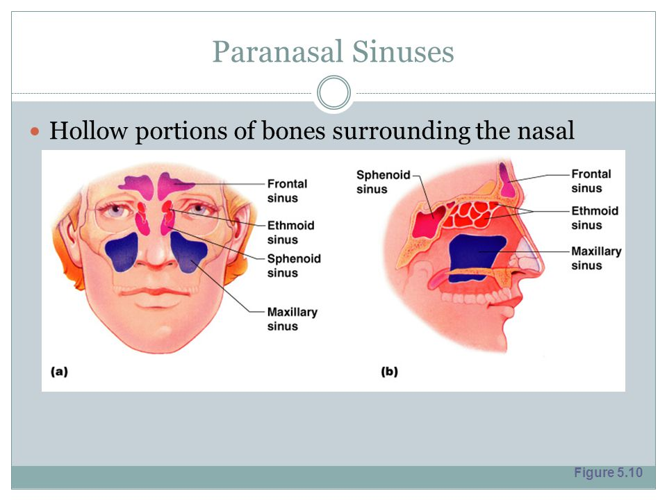 Paranasal Sinuses Hollow portions of bones surrounding the nasal cavity Figure 5.10
