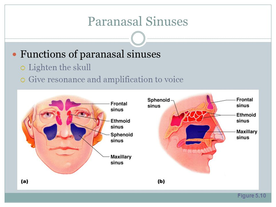 Paranasal Sinuses Functions of paranasal sinuses Lighten the skull