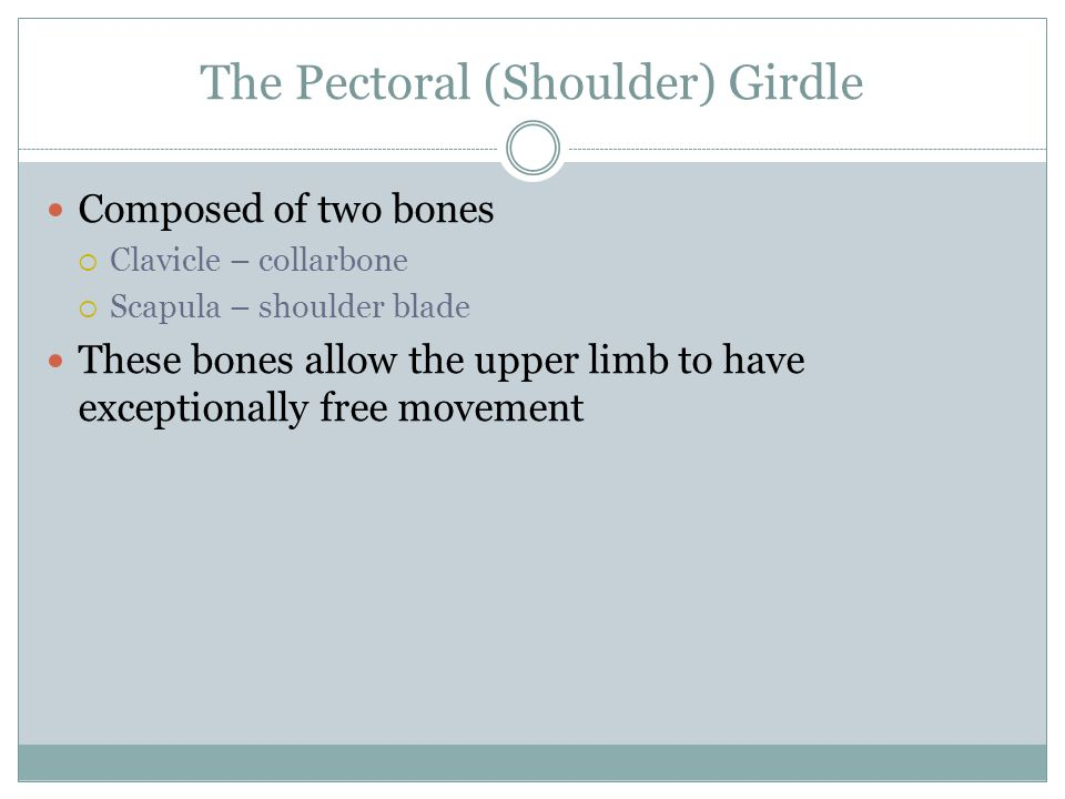 The Pectoral (Shoulder) Girdle